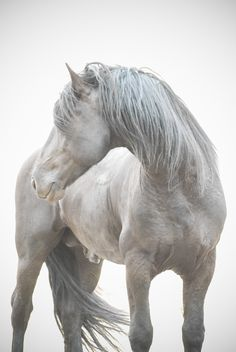 Stallion by Anna Ryslinge // artistic wind black and white All The Pretty Horses, Beautiful Horses, Animals Beautiful, Cute Animals, Big Horses, White Horses, Horse Love, Akhal Teke, Andalusian Horse