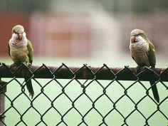 Monk parrots in brooklyn.