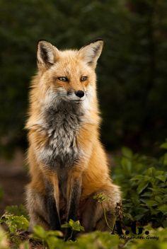 Resultado de imagem para fox