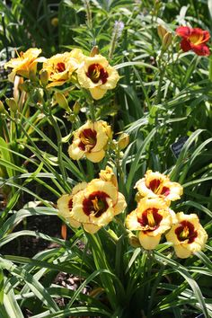Daylily 'Awesome Candy' (Stamile-P. Candy S, Day Lilies, Color Names, Evergreen, Branches, Vibrant Colors, Bouquet, Bloom, Lily