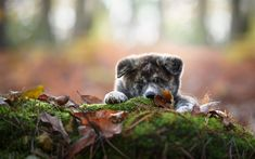 Download wallpapers Akita Inu, puppy, gray dog, cute animals, autumn, dog year concepts, pets