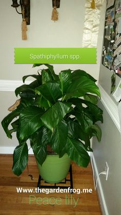 The Peace Lily (Spathiphyllum spp) is one of the most common and probably favorite houseplant in this country. It is readily available anytime time of the year and given to loved ones and friends a… Easy Plants To Grow, Growing Plants Indoors, Cool Plants, Garden Frogs, Inside Plants, Best Indoor Plants, Peace Lily, Small Succulents, Garden Projects