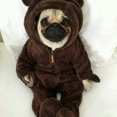 What a cute little Teddy pug. - All Pugs, Cute Baby Pugs, Cute Dogs And Puppies, Baby Dogs, Doggies, Cute Little Animals, Cute Funny Animals, Baby Animals Pictures, Animals And Pets, Terrier Puppies