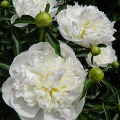 Best Fragrant Perennials – Southeast - 'Duchesse de Nemours' herbaceous peony