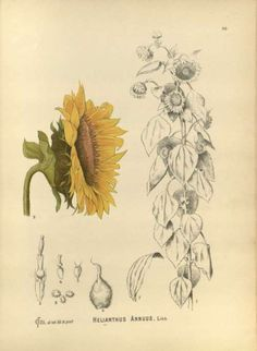 scientificillustration:    Helianthus annuus L.- Sunflower  From: Millspaugh, C.F., Medicinal plants, vol. 1: t. 83 (1892)