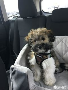 The Smart Havanese Dog Personality Havanese Grooming, Havanese Puppies, Dog Grooming, Goldendoodle, Cute Dogs And Puppies, I Love Dogs, Doggies, Sweet Dogs, Cutest Dog Ever