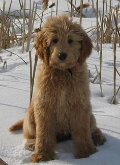 Goldendoodle. Waiting impatiently for this spring. Not ours in this picture, but looks just like her.