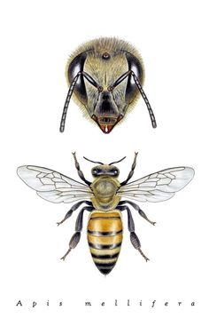 Art - Insects - Bee - by Noel Badges Pugh - Illustration for Science