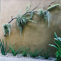 Hang air plants on a branch on a shady wall Living Art