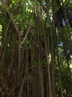 "Barbados. A bearded fig tree in the rain forest in eastern Barbados. The name ""Barbados"" comes from a Portuguese explorer named Pedro Campos in 1536, who originally called the island Los Barbados (""The Bearded Ones"") after the bearded fig tree, which grew abundantly on the island at the time of its discovery. This tree is unusual in that it sends aerial roots from its branches, giving the impression of being bearded. The tree also appears on the national Coat of Arms."