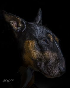 English Bull Terrier Portrait by Rich Wiltshire on 500px