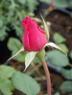 Princess Alexandra rose bud, an upright, shrub rose with deep green leaves.