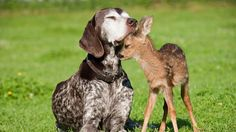 http://www.pageresource.com/wallpapers/wallpaper/baby-deer-and-dog_684670.jpg