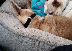 Peter Piper, Boston Terrier, Corgi, Animals, Boston Terriers, Corgis, Animales, Animaux, Animal