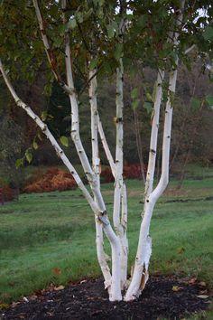 Betula utilis var. jacquemontii 'Grayswood Ghost'