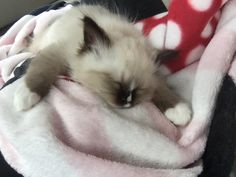 Reese Willow 8 wk old Ragdoll