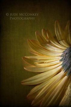 So soft and gentle... gerber daisy yellow still life photography fine by BloomWithAView, $30.00