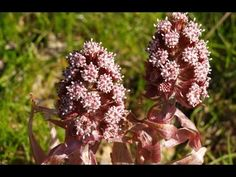 Butterbur Benefits - World Of Herbal Health