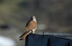 Kestrel on the roof of Hardangervidda National Park Centre-Photo:Anders Mossing.