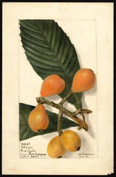 Loquats by Deborah Griscom Passmore, 1905 - U. Department of Agriculture Pomological Watercolor Collection. Rare and Special Collections Vintage Botanical Prints, Botanical Drawings, Botanical Art, Vintage Prints, Fruits Images, Miniature Plants, Plant Illustration, Science Art, Fauna