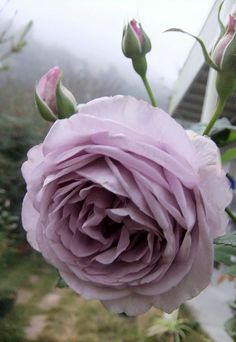 Hybrid Tea Rose 'Blue Moon'-stunning