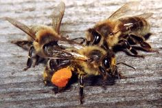 If the bees disappear, pollination will stop.  Plants disappear - and mankind can be threatened.  Remember Einstein's prophecy - bees began to disappear in 2006 - rueth