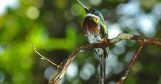 Ariramba-bronzeada se destaca pela beleza das penas verdes-acobreadas