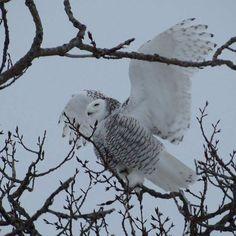 Hey oui... je l'ai revu... cette belle oiseau que j'avais fais fuir sans faire attention... je suis resté près d'elle 40 minutes à la regarder et la photographier ! 😍 un moment magique ❤ merci à mon papa qui m'envoie des signes de là haut ! Je te l'avais demandé... De me l'envoyer à nouveau... et comme par hasard... il était là 😢❤ merci Je t'aime !   #harfangdesneiges #owl #pocket_birds #whitebird #outdoors #outside #nature #naturelovers #beautiful #myphoto #abitibi #québec #amos #animals…