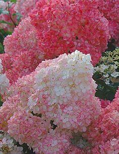 Vanilla Strawberry Hydrangea - don't normally like pink hydrangeas, but these are so pretty..