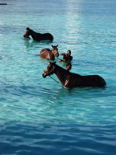 Barbados - horses | Every morning, horses are brought by their handlers from the nearby racetrack to the sea at Carlisle Bay to be washed.