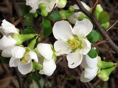 Flowering Quince - White.  We love flowering branches.  They are beautiful arranged on their own or mixed into a grand design.  They smell good too!