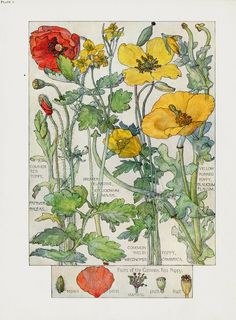 Poppies from Botanical prints by H. Isabel Adams 1907