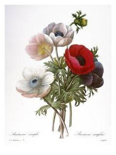 Giclee Print: Redoute: Anemone, 1833 by Pierre-Joseph Redouté : 24x18in