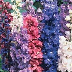 Mixed Delphiniums (MI Bulb) Perfect as a floral backdrop, tall, dignified delphiniums bloom in rich shades ranging from rosy-pink to blue and purple. Loaded with dozens of fluttery flowers, each tall spire adds to the vertical interest of your perennial garden.  Product Information: Light: Full sun to partial shade Height: 3-5' Deer Resistant Bloom Time: Early summer and again in fall Size: Bareroot Zones: 3 to 7