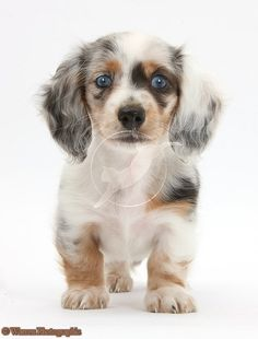 Cute Lil Doxie Puppy