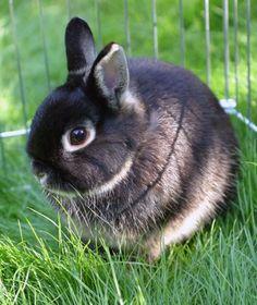 Netherland Dwarf Rabbit | 10 Popular Pet Rabbit Breeds | PawNation