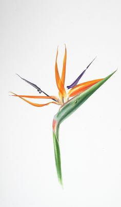 "Billy Showell: 'Strelitzia Reginae', watercolour on paper, 15"" x 21"""