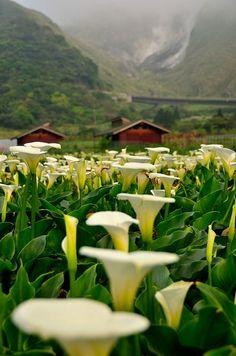 Calla Lilies Growing in Jhuzihhu Taiwan