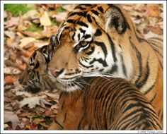 Beautiful Tiger mom and her cub