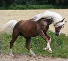 81% Arabian Stallion - Udjali Silver Famed IFMRDNANANDBD ITS EPONA