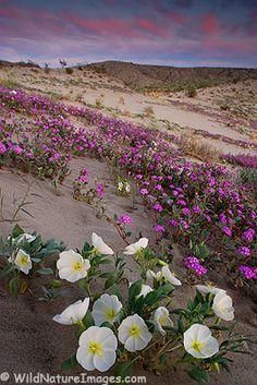 Wildfloweres at sunset in Anza Borrego Desert State Park, California. Photo credit: Ron Niebrugge, WildNatureImages.com.