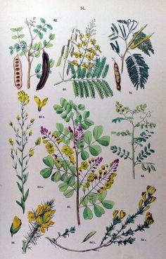 wapiti3: acacia catechu-; Bloodwood tree; Kamp ash wood tree, carob tree; Sennekassie; broom, Hairy, broom, dyer; stern seed; broom, punctu...