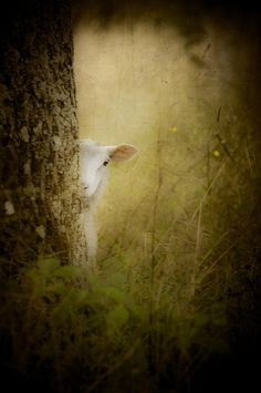 The Shy Lamb  © Loriental Photography - Prints available for sale in my European and US online shops (USA : http://fineartamerica.com/profiles/loriental-photography.html - Germany : http://www.artflakes.com/en/shop/loriental-photography - France : http://www.alittlemarket.com/boutique/loriental_photography-398781.html)