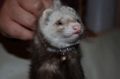 13/52 Bamboo the Ferret, via Flickr.