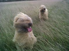 And the answer my friend is the blowin in the wind!  missy and scruffy...Wheatens in a wheat field!  Oxfordshire in the UK