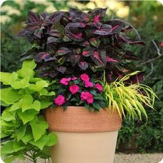 Front porch containers- Add a little hot pink color to your shaded garden spaces with Magilla Purple Perilla and Celebrette N.G. Impatiens. Perilla has striking features with showy coleus-like foliage. The chartreuse trailing sweet potato vine and new Milium Flashlights brightens up the whole look.