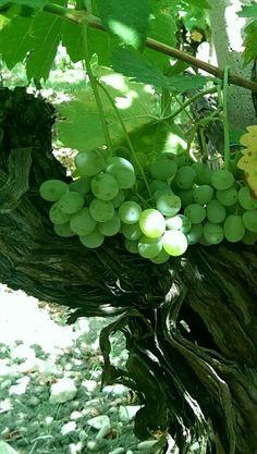Raggio di sole sunbeam in Cantina Vivera Vivera Winery #vineyards #Etna and #Sicily #organic #wine  +Vivera Etna Winery