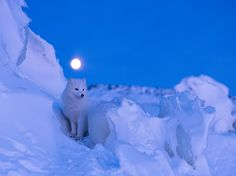 Picture of an arctic fox and full moon, Canada