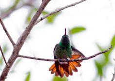 Foto beija-flor-de-barriga-verde (Amazilia viridigaster) por Marcelo Camacho | Wiki Aves - A Enciclopédia das Aves do Brasil