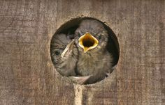 These young house wrens wait for food as they huddle inside their cozy nesting box. When buying or building a birdhouse, check for any sharp edges or materials that could cause injury. Make sure there's room in the house to build a nest and raise eggs. Never paint the interior or buy one that's been painted inside, as the paint toxins released in summer will be dangerous.